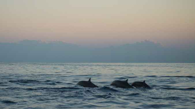 photo of dolphins during dawn